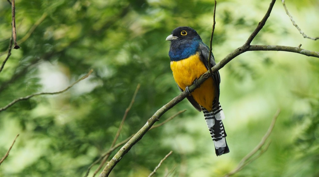 Male Violaceous Trogon. Photo by Eduardo Libby