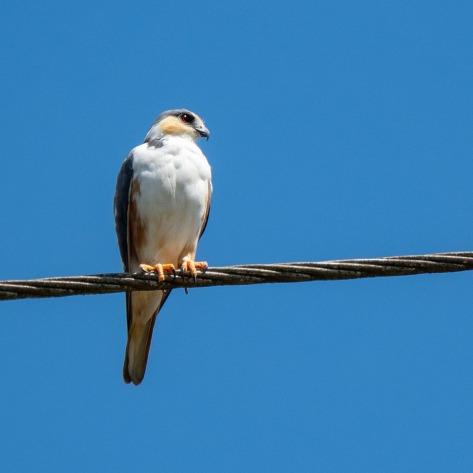 A Pearl Kite resting on a power line. Photo by Eduardo Libby