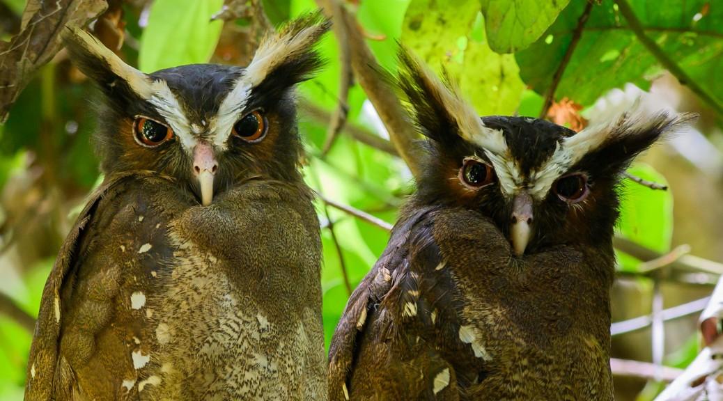 Crested Owls. Photo by Eduardo Libby
