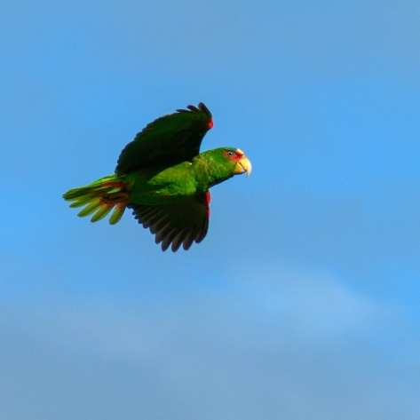 Flying White-fronted Parrot. Photo by Eduardo Libby