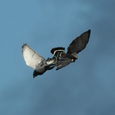 Carthwheeling Gray Hawks. Photo by Eduardo Libby