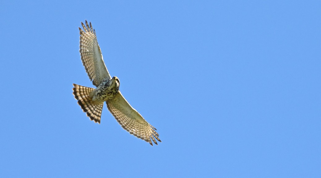 Gray Hawk in flight. Photo by Eduardo Libby