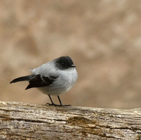 Torrent Tyrannulet. Photo by Eduardo Libby