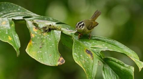 Costa Rican Warbler. Photo by Eduardo Libby