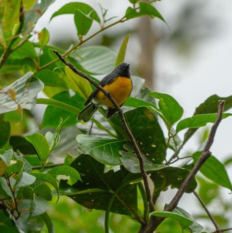 Slate-throated Redstart. Photo by Eduardo Libby