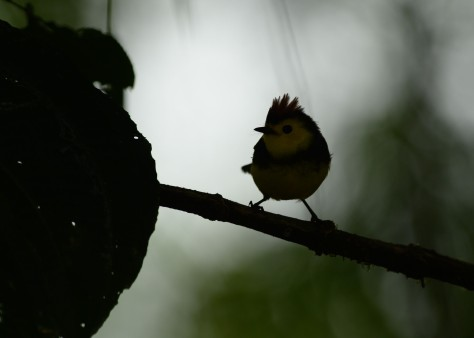 Collared Redstart photo before shadow recovery. Photo by Eduardo Libby