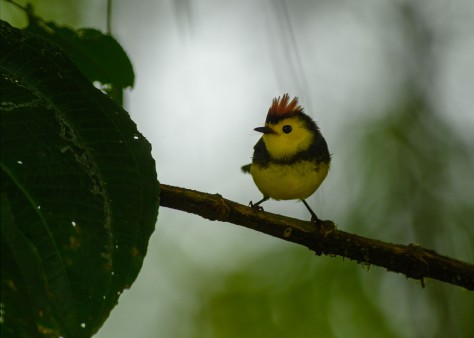 Collared Redstart. Photo by Eduardo Libby