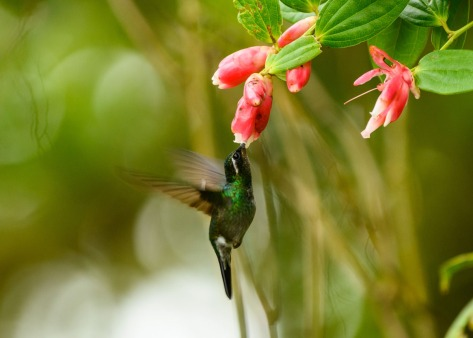 Purple-throated Mountain Gem feeding on Ericaeaceous flowers. Photo by Eduardo Libby