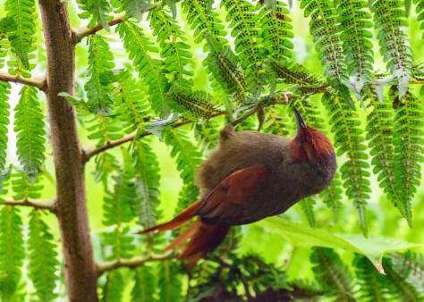 Red-faced Spinetail and tree fern. Photo by Eduardo Libby
