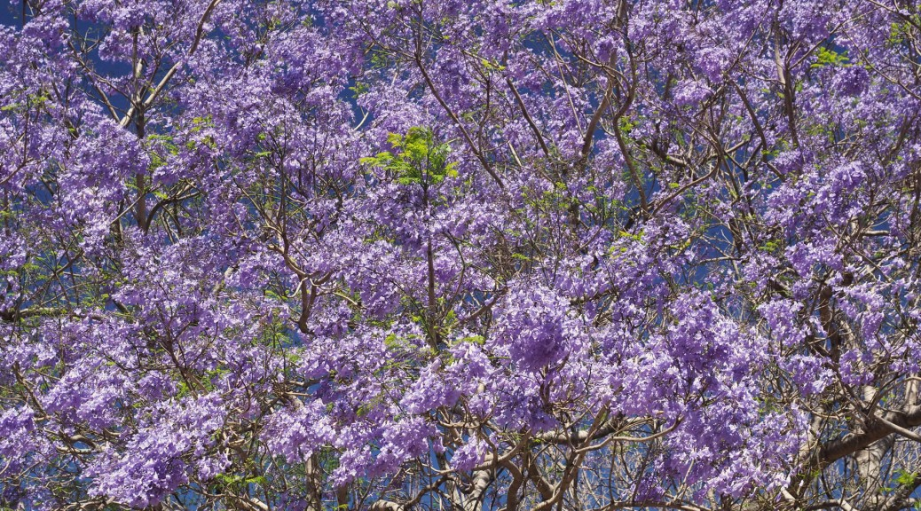 Jacaranda tree in full bloom. Photo by Eduardo Libby