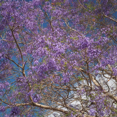 Blooming Jacaranda tree and cloud. Photo by Eduardo Libby
