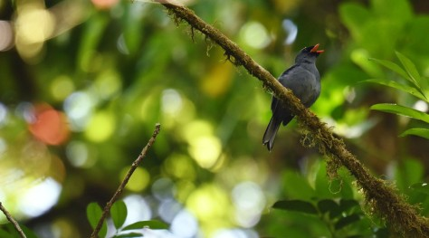 Black-faced Solitaire singing. Photo by Eduardo Libby