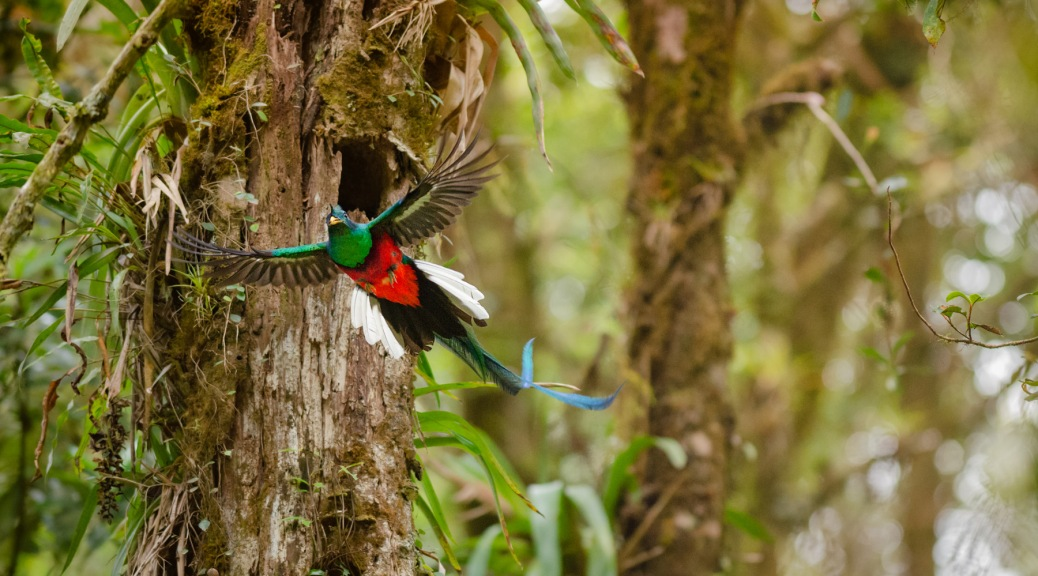 Resplendent Quetzal in the Oak forests of Costa Rica. Photo by Eduardo Libby