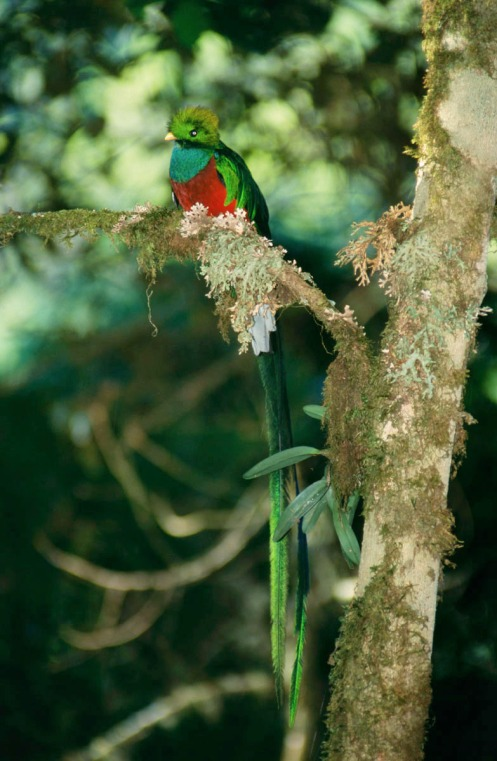 Resplendent Quetzal. Photo by Eduardo Libby