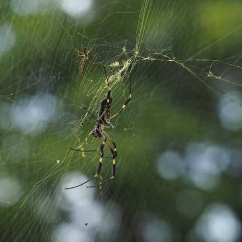 Female Nephila Spider and male. Photo by Eduardo Libby