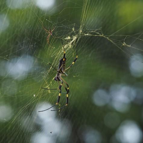 Female Nephila Spider and male. Photo by Eduardo Libby