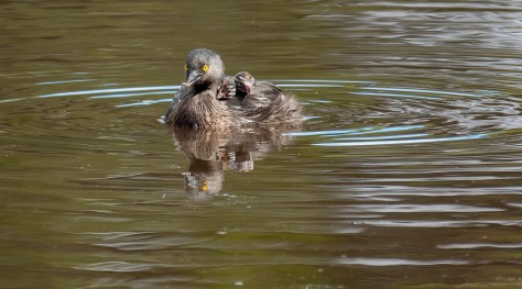 Least Grebe with two siblings on its back. Photo by Eduardo Libby