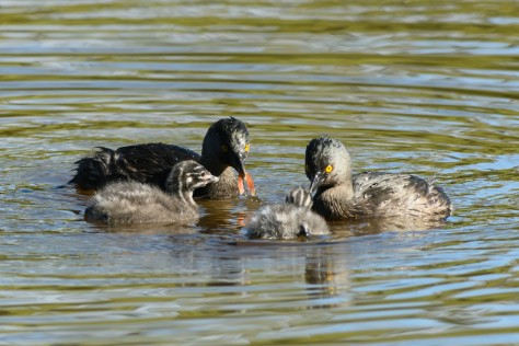 Least Grebe family eating a piece of crayfish. Photo by Eduardo Libby