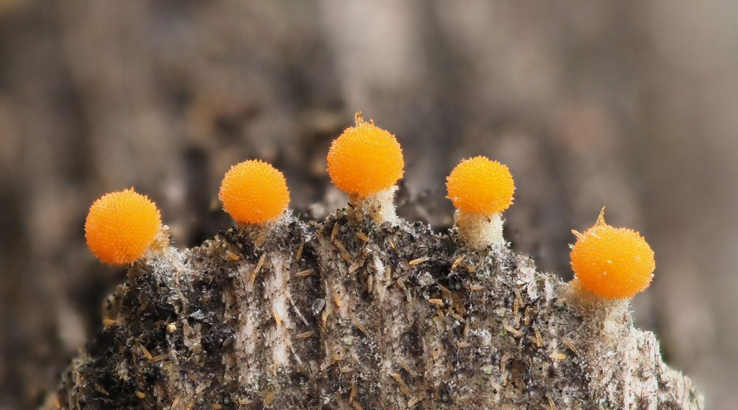 Very small orange fungi. Photo by Eduardo Libby