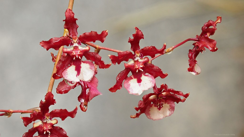Orchid flowers. Photo by Eduardo Libby