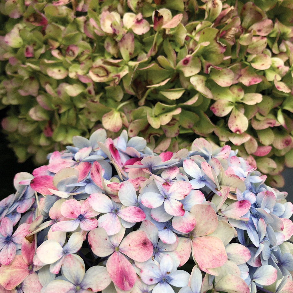 Older Hydrangeas. Photo by Eduardo Libby
