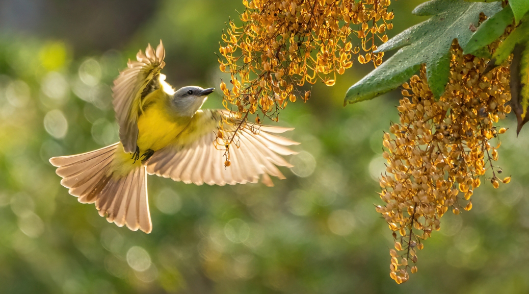 Tropical Kingbird feeding on Bocconia arillate seeds. Photo by Eduardo Libby