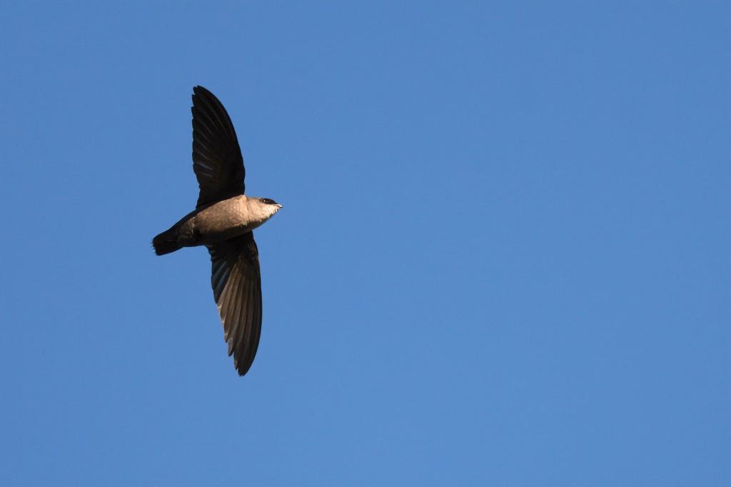 Vaux's Swift in flight. Photo by Eduardo Libby