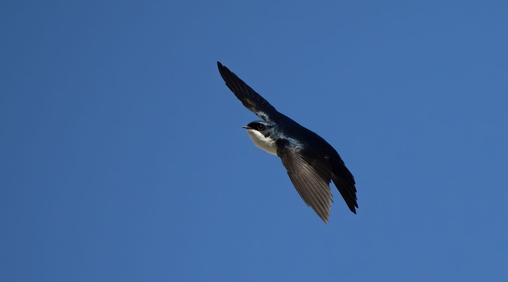 Blue and White Swallow in flight. Photo by Eduardo Libby