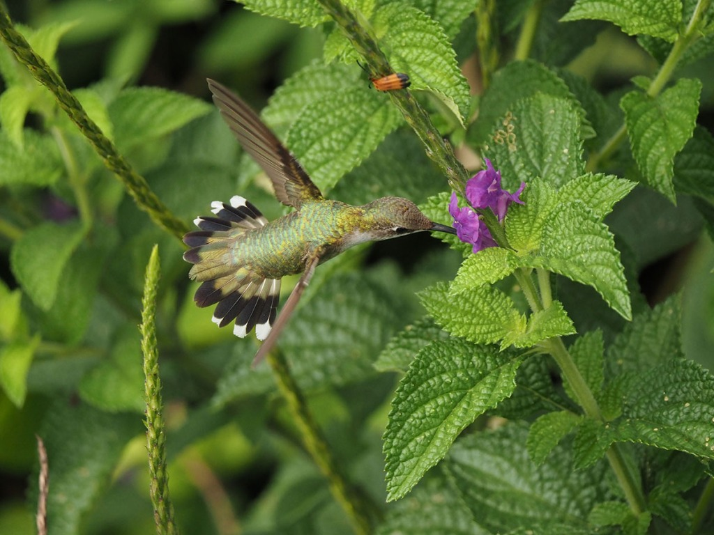 Photo of a Female Ruby-throated Hummingbird feeding on Stachytarpheta nectar. Image by Eduardo Libby