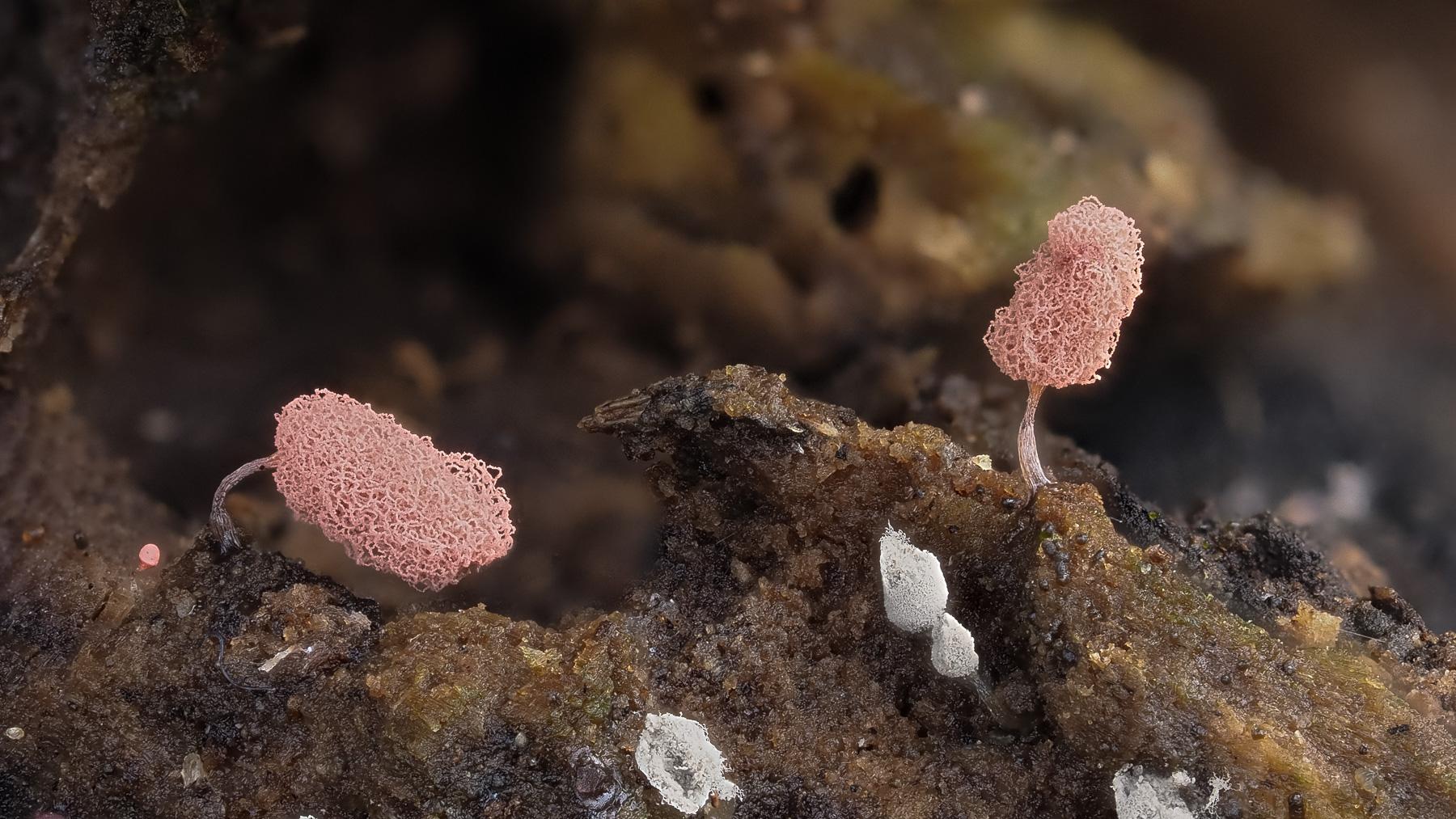 Arcyria incarnata sporangia. Photo by Eduardo Libby